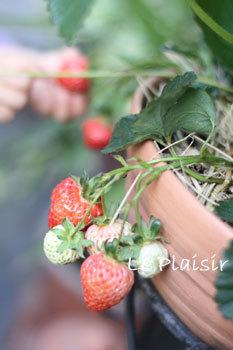 fraise1.jpg